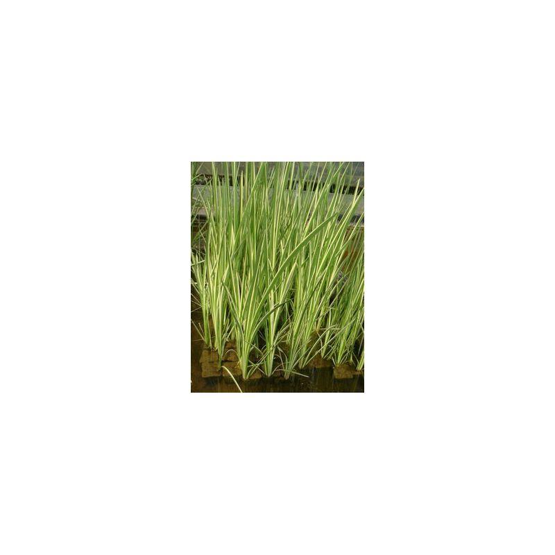 Acorus calamus variegatus