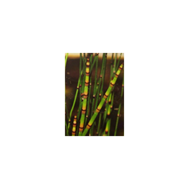 Equisetum americanum