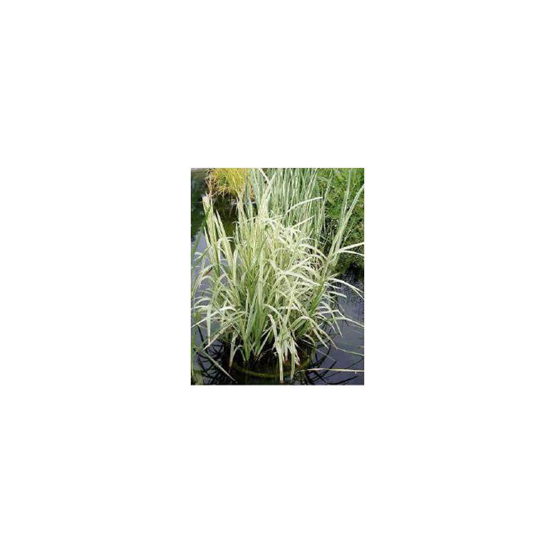Glyceria maxima