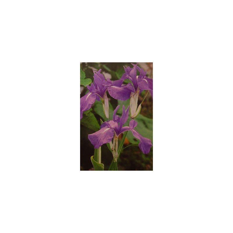 Iris laevigata bleu