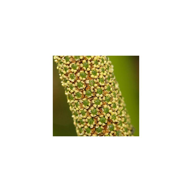fleur de l'acorus calamus variegatus