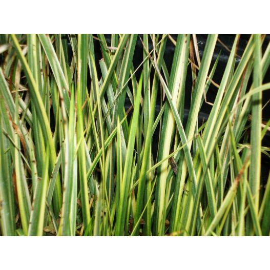 plante aquatique acorus calamus variegatus