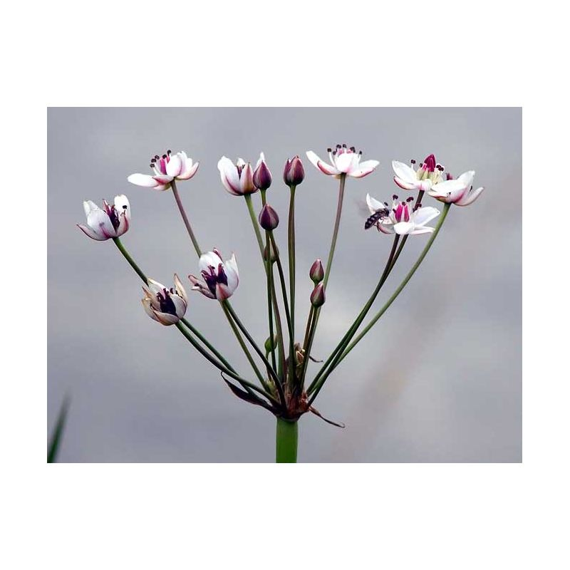 Fleur de butomus umbellatus
