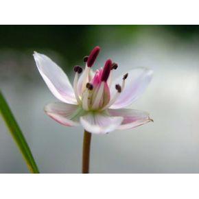 Butomus umbellatus plante aquatique