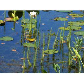 Hippuris vulgaris de bassin