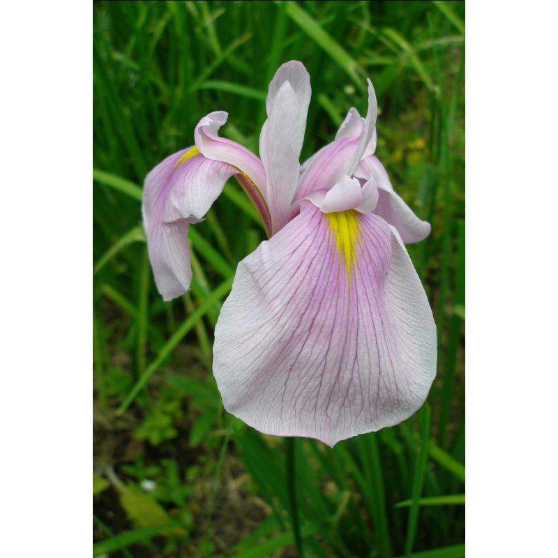 Iris laevigata queen victoria