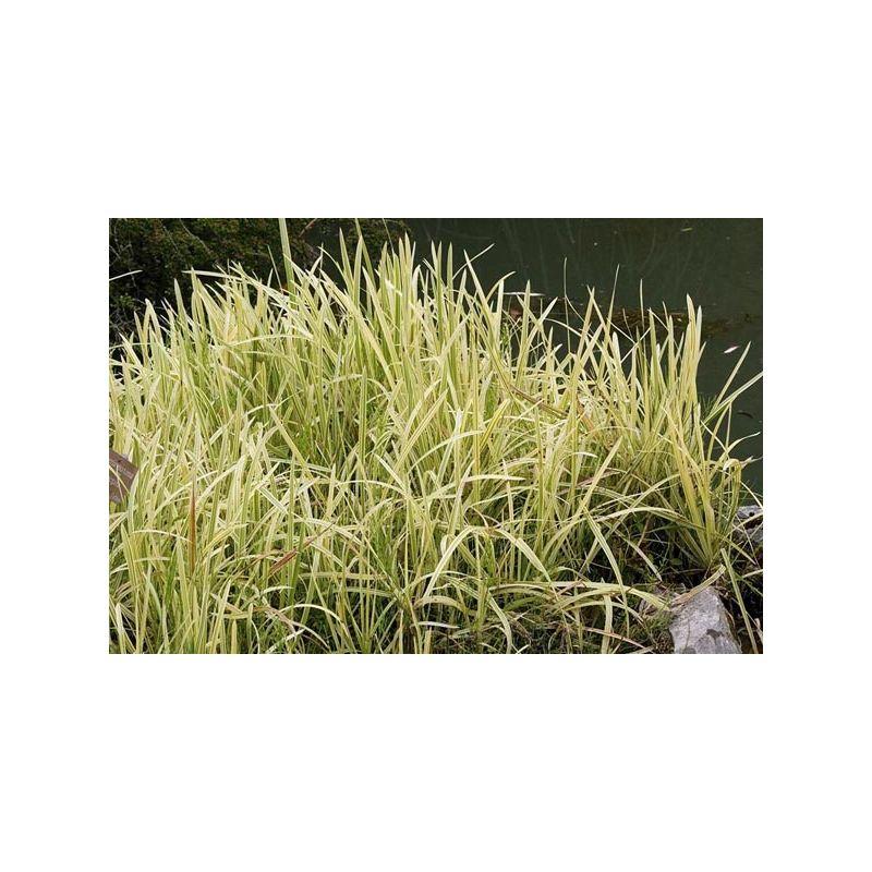 Glyceria aquatica variegata