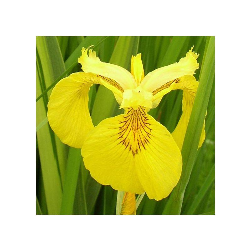 Iris pseudacorus variegatas