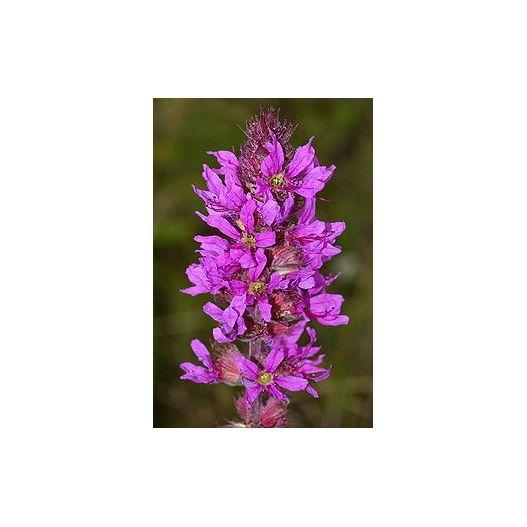 Lythrum salicaria
