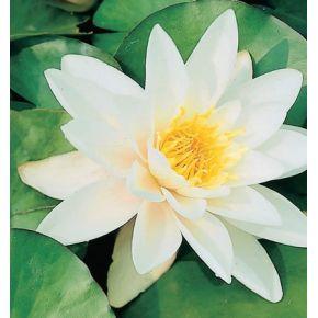 Plante aquatique Nénuphar Alba