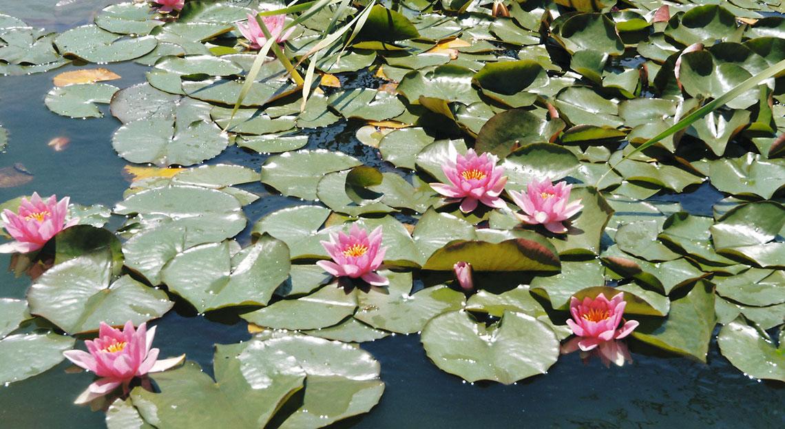 Des plantes aquatiques pour votre bassin